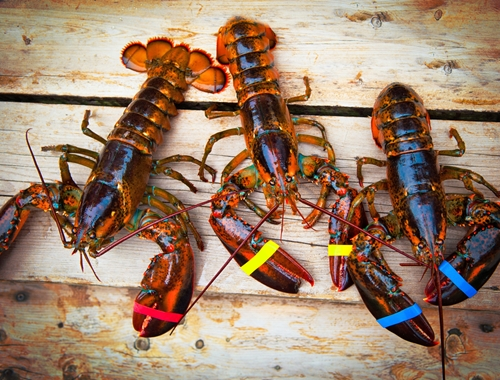 Which factors are most important to retaining as many live lobsters as possible in commercial lobster tanks?